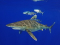 Oceanic whitetip with pilot fish