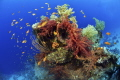 Rainbow Nikon D800E, 10,5 mm Seacam housing , two strobo sea and sea 120Ys Sharm el sheik