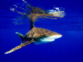 Oceanic white-tip on the surface, creating the nice reflection on the surface