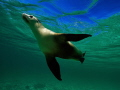 Female Sea Lion playful swimming at Jurien Bay