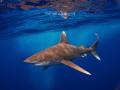 Oceanic White Tip in Rough Seas - May 2014