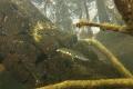 Smooth Newt (Lissotriton vulgaris) - male