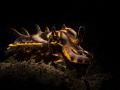 Flamboyant Cuttlefish (Metasepia pfefferi) Dumaguete, Philippines