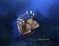 Lion Fish portrait Nikon D800E, 17-35mm Nikon Seacam housing two strobo Sea and Sea 120YS Sharm el Sheikh