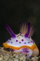 海兔 Nudibranch  Mexichromis macropus  Anilao  Philippines. May 2014