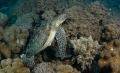 So many Green Turtles in the Cebu waters