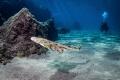 baby angel shark  squatina squatina  currently endangered at Canary Islands.