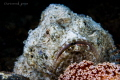 White Stonefish with contrast lighting
