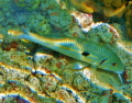 Yellowstripe Goatfish