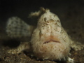 White hairy frogfish in the resort house reef.