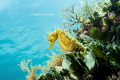 Yellow Sea Horse, Taken with E-M5 Mark 2 and 9-18mm lens with a Zen Dome.