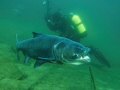 Big Head carp (Hypophthalmichthys nobilis)