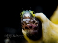 Wonder Struck - Secretary Blenny in Super Macro