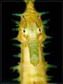 G L O W Thorny Seahorse