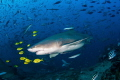 Lemon shark and lemon pilot fish/ A pregnant lemon shark surrounded by colorful yellow pilot fish cruises around during a shark dive in Fiji