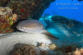 Nurse Shark in the Reef, Cozumel Mexico