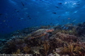 Turtle Swims over a coral reef in search of food