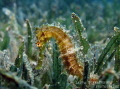 Thorny golden seahorse