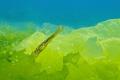Pipefish hiding in the algae in the Black Sea
