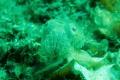 Sleepy Cuttlefish