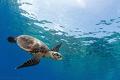A curious juvenile hawksbill turtle