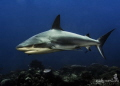 One of the Caribbean Reef sharks that frequent the reef outside of Christiansted  St. Croix  USVI