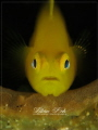 L E M O N Yellow Goby