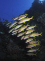 Shoal of goatfish.
