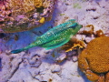 Cowfish  Bonaire