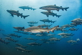 All In Formation No one really knows why the sand tiger sharks school like this  but it seems to happen around the July time frame off of North Carolina every year  especially around the wreck of the Caribsea.