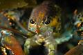 Lobsta Eyes