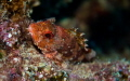 scorpionfish canary island