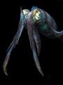 Knight Squid