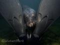 Seal framed by diver fins