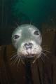 Grey Seal Portrait - Sigma 15mm  + TC 1.4