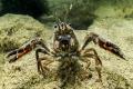 crayfish (Hérault river, France)