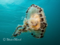 Compass Jelly at Porthkerris