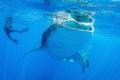 Whale Shark and Photographer, Isla Contoy México