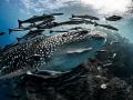 The Escort ... Whale Shark - Rhincodon typus. Sail Rock, Thailand-EM5-Panasonic 8mm-iso200-f80-180