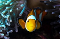 Clown fish / Similan Islands