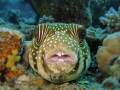 Dirty    Pufferfish