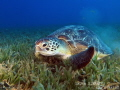 Chelonia mydas  green sea turtle gliding over seagrass