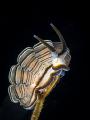 Donut nudibranch  Doto greenamyeri   Tulamben  Bali