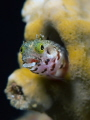 Smiling Blenny