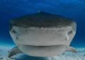 Tiger Shark Nose