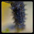 Night diving   Croatia   sea horse