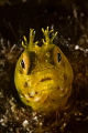 Roughhead blenny  Acanthemblemaria aspera