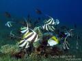 Fish frenzy of damselfish  butterflyfish and bannerfish