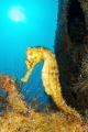 Hippocampus reidi on Nahoon wreck