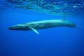 fin whale (Balaenoptera physalus) This photo has been made by special permit of the portuguese government.